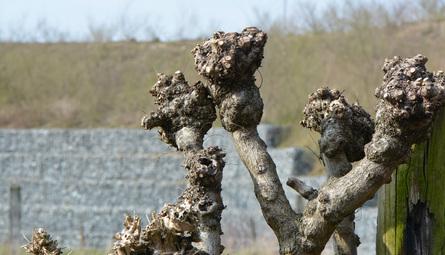 Arbre trogne (Cassora)
